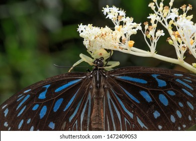 Butterfly(Arthropoda: Insecta: Lepidoptera: Danainae: Tirumala septentronis). Spider(Arthropoda: Arachnida: Araneae: Thomisidae). Butterfly is captured by spider on flower. In Wufeng,Hsinchu,Taiwan.
