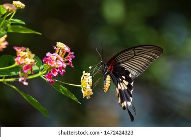 Butterfly(Arthropoda: Insecta: Lepidoptera: Papilionidae: Papilio memnon heronus). On flower.Collecting nectar. In Hengshan,Hsinchu,Taiwan.