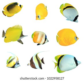 Butterflyfish collection. Reef fish (Butterflyfish, Bannerfish, Moorish Idols) isolated on white background