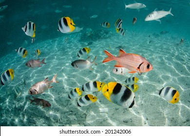 Butterflyfish, goatfish, soldierfish, and other species of brightly colored reef fish swim in a shallow lagoon in French Polynesia.