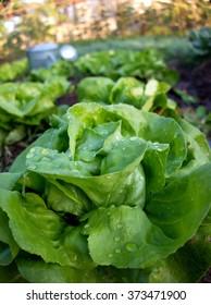 Butterhead  lettuce garden.
