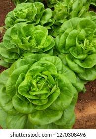 butterhead lettuce vegetable in garden