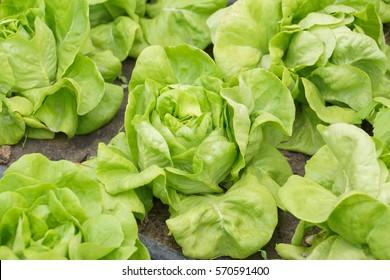 Butterhead vegetable farm