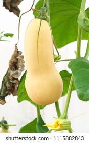 Butternut Sqash in the farm.