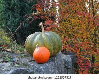 Butternut squash, cucurbita moschata, green musquée de provence and orange little hokkaido, red kuri pumpkin in garden. Autumn, fall background.