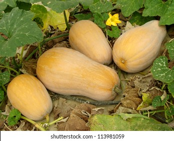 butternut squashes growing on vine