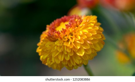 Button Pompom  Guldaudi Flower Chrysanthemum