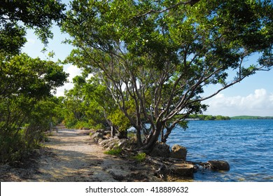 Buttonwood tree on a trail in Biscayne National Park in Florida.