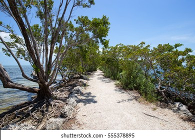 Buttonwood tree on a trail in Biscayne National Park in Florida