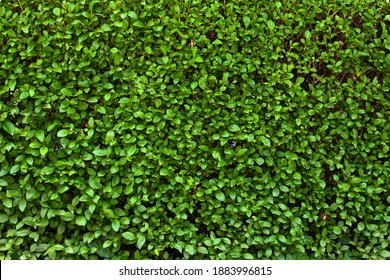 Buxus hedge. Texture of viable green hedge, summer photo. Small green oval leaves wallpaper. Hedgerow backdrop. Hedge fence closeup shot.