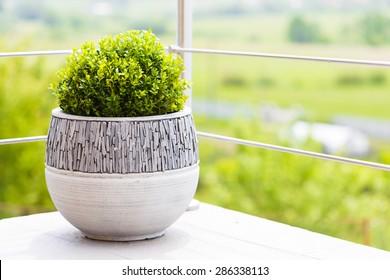 Buxus in modern ceramic flower pot on balcony