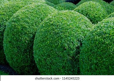 buxus sempervirens hedge.