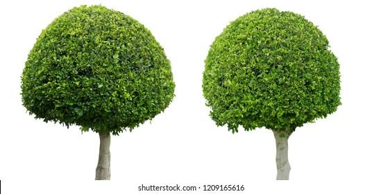 Buxus sempervirens Rotundifolia large-leaved box tree isolated on white background