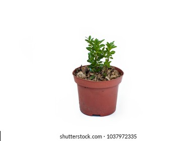 Buxus sprout in plastic pot isolated on white background. Evergreen boxtree (common box, European box, or boxwood).