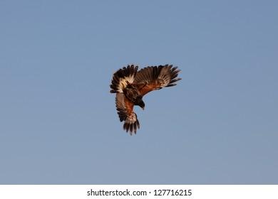 a buzzard attacks
