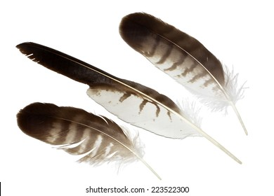 Buzzard (Buteo buteo) feathers collection isolated on white