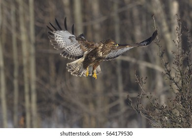 Buzzard Buteo buteo in flight
