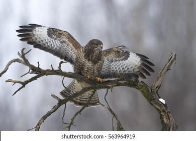 Buzzard Buteo buteo landing on the branch of dead tree