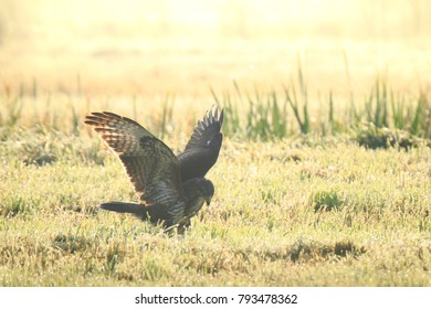 Buzzard Buteo buteo landing while hunting on a meadow during a foggy sunrise. catch a prey in its habitat.