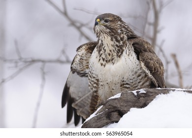 Buzzard Buteo buteo looking at the enemy