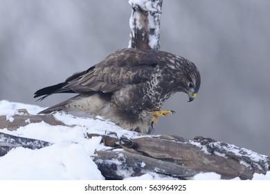 Buzzard Buteo buteo looking for prey