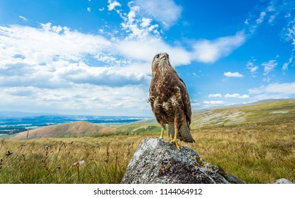 Buzzard, common Buzzard, Scientific name: Buteo buteo, perched majestically on lichen covered stone with panoramic English Lakeland in the background. Blue sky with white clouds, horizontal.