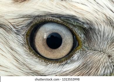 Buzzard eye close-up, macro photo, eye of the male Rough-legged Buzzard, Buteo lagopus.