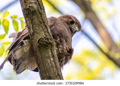 Buzzard, falcon, hawk or eagle sitting on a tree trunk preparing its hunt as bird of prey in a national park or wood with a sharp beak as close up infront of a blurred background watching for animals