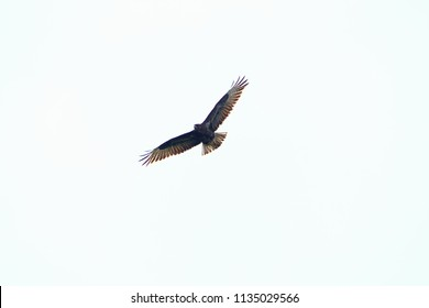 Buzzard flying in the air in front of a white sky