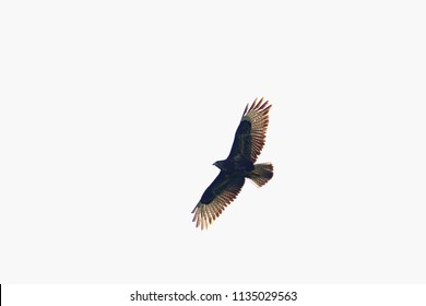 Buzzard flying in front of the white sky on a summer day