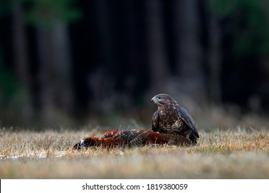 Buzzard with kill pheasant carcass on the forest meadow. Buteo buteo with dead Common Pheasant. Feeding behaviour scene from nature. Black bird from Germany. Buzzard , bird widlife in Europe.