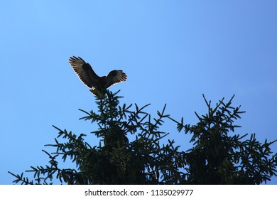 Buzzard landing on the top of a tree in front of a blue sky