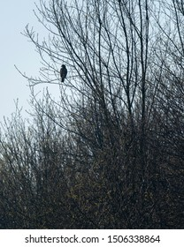 Buzzard sits on branch in bush during early spring.
