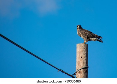 Buzzard wild bird of prey perched on a wooden telephone pole