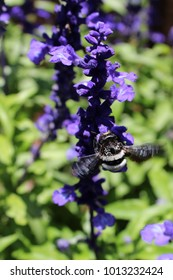 Buzzing Wings of a Carpenter Bee on a Salvia Branch