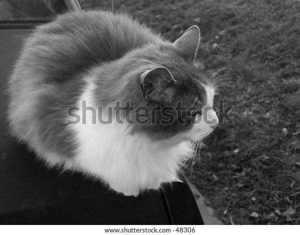 ( B&W ) Cat Sitting on Trunk
