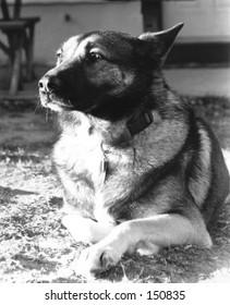 B&W Dog lying in sun