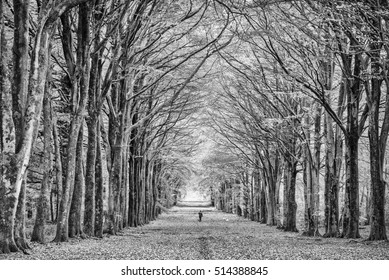 B&W Dog Walker Beech Tree Avenue Grovely Wood Wiltshire