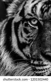 B&W Half face eyes tiger