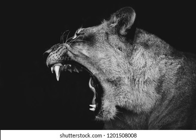 B&W Lion yawning