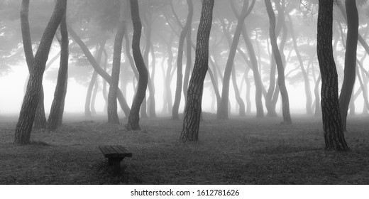 BW panoramic view of foggy pine trees at Imhan-ri near Boeun-gun, Korea.