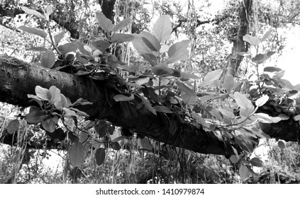 B&W Photograph of a Large Banyan Tree and Vines
