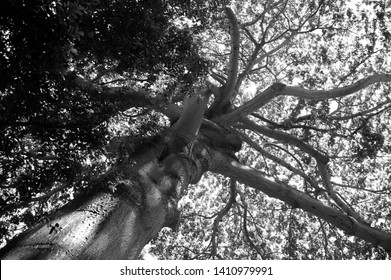 B&W Photograph of a Large Tree Canopy