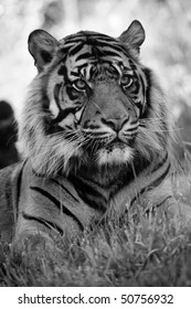 B&W portrait of a tiger