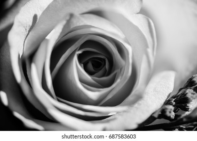 bw rose