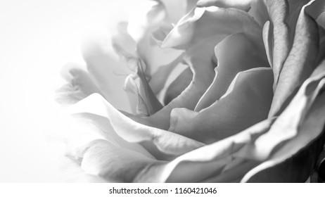 B&W rose in close up