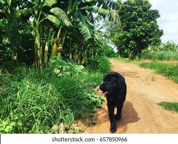 By the Banana Plantation