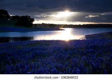 By moonlight or sunlight purple lupines along the lake are beautiful. Spring evening in Northern California's foothills filled with a mass of purple wildflowers under silver gray sky and a silver lake