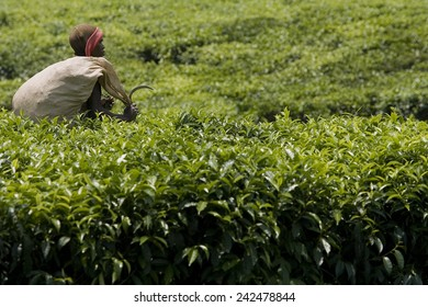 BYUMBA, RWANDA - SEPTEMBER 2008: Farmer working in a tea plantation.Rwanda today is a story of renewal and rapid economic development; only 20 years ago the country was torn apart by the genocide.