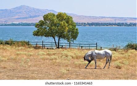 caballo blanco mordiéndose pata delantera derecha con fondo de árbol verde y lago azul y detrás una montaña con forma de pico